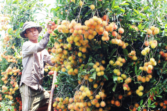 Chôm chôm Đồng Nai được bảo hộ chỉ dẫn địa lý