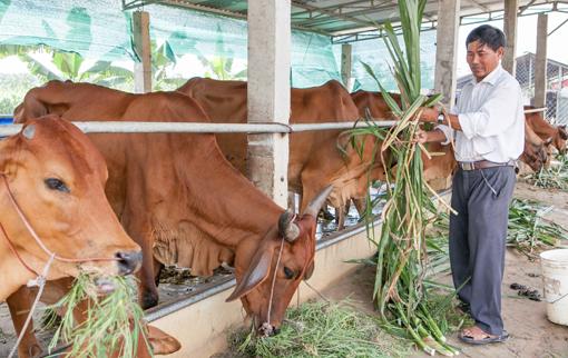 Cựu chiến binh ở Bình Dương thành công với mô hình nuôi bò giống